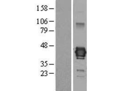 Transient overexpression lysate of junctional adhesion molecule 3 (JAM3)