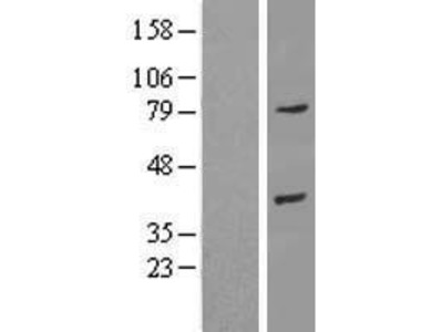 Transient overexpression lysate of annexin A9 (ANXA9)