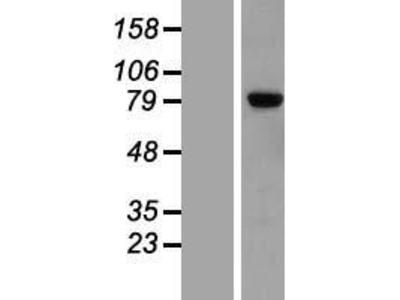 Transient overexpression lysate of leucine rich repeat neuronal 2 (LRRN2), transcript variant 2