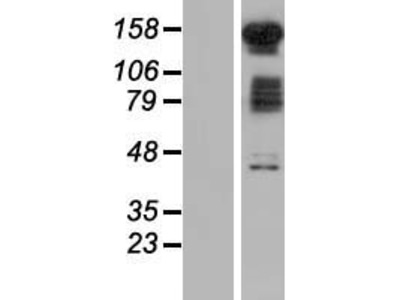 Transient overexpression lysate of family with sequence similarity 120B (FAM120B)