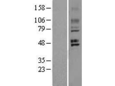 Transient overexpression lysate of G protein-coupled receptor 150 (GPR150)