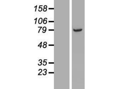 Transient overexpression lysate of armadillo repeat containing 9 (ARMC9)