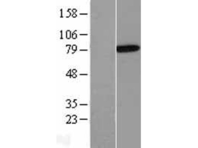 Transient overexpression lysate of annexin A6 (ANXA6), transcript variant 1
