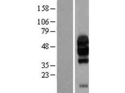 Transient overexpression lysate of chromosome 10 open reading frame 54 (C10orf54)