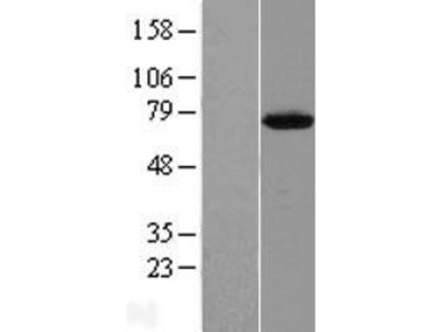 Transient overexpression lysate of chromosome 12 open reading frame 26 (C12orf26)