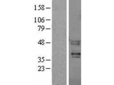 Transient overexpression lysate of coagulation factor II (thrombin) receptor-like 3 (F2RL3)