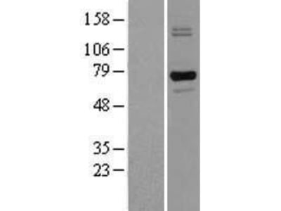 Transient overexpression lysate of leucine rich repeat containing 32 (LRRC32), transcript variant 1