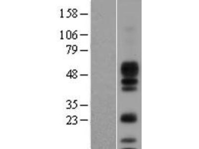 Transient overexpression lysate of amphiregulin (AREG)