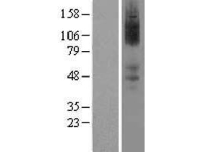 Transient overexpression lysate of adrenergic, alpha-2A-, receptor (ADRA2A)