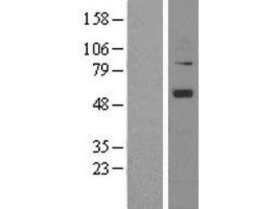 Transient overexpression lysate of angiopoietin 1 (ANGPT1)