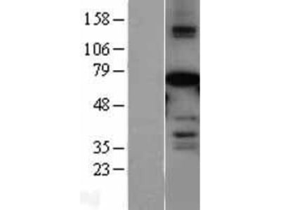 Transient overexpression lysate of myeloid/lymphoid or mixed-lineage leukemia (trithorax homolog, Drosophila); translocated to, 3 (MLLT3)