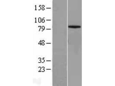 Transient overexpression lysate of mitofusin 1 (MFN1), nuclear gene encoding mitochondrial protein