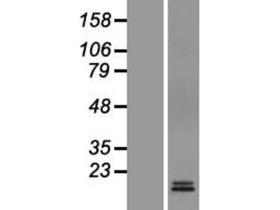 Transient overexpression lysate of mannose-6-phosphate receptor (cation dependent) (M6PR)