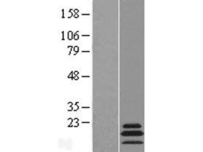 Transient overexpression lysate of mitochondrial ribosomal protein L54 (MRPL54), nuclear gene encoding mitochondrial protein