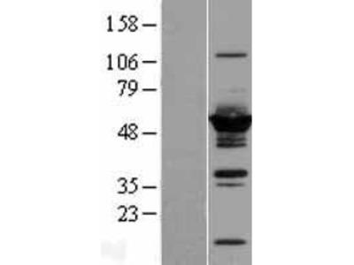 Transient overexpression lysate of dynein, cytoplasmic 1, light intermediate chain 2 (DYNC1LI2)
