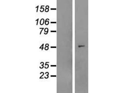 Transient overexpression lysate of myosin regulatory light chain interacting protein (MYLIP)