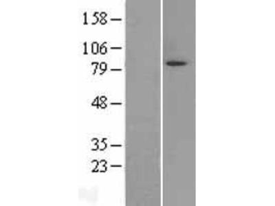 Transient overexpression lysate of MAP/microtubule affinity-regulating kinase 3 (MARK3), transcript variant 3