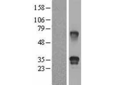Transient overexpression lysate of follistatin-like 3 (secreted glycoprotein) (FSTL3)