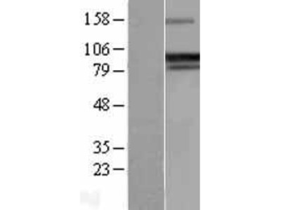 Transient overexpression lysate of protein phosphatase 1, regulatory (inhibitor) subunit 15A (PPP1R15A)