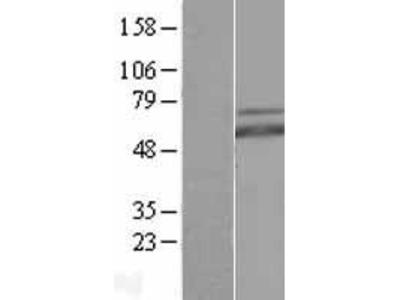 Transient overexpression lysate of v-myc myelocytomatosis viral related oncogene, neuroblastoma derived (avian) (MYCN)