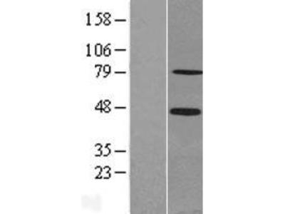 Transient overexpression lysate of sex comb on midleg-like 2 (Drosophila) (SCML2)