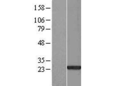 Transient overexpression lysate of SAP30-like (SAP30L), transcript variant 1