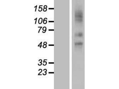 Transient overexpression lysate of solute carrier organic anion transporter family, member 2A1 (SLCO2A1)