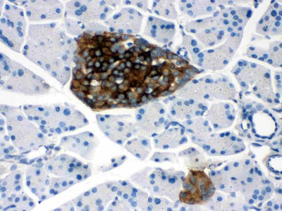 Anti-Prion protein PrP/PRNP Picoband Antibody