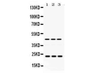 Anti-RAB13 Picoband Antibody