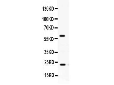 Anti-Rab11A Picoband Antibody