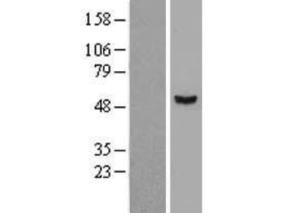 Transient overexpression lysate of STAM binding protein-like 1 (STAMBPL1)