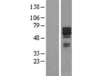 Transient overexpression lysate of synaptotagmin XVII (SYT17)