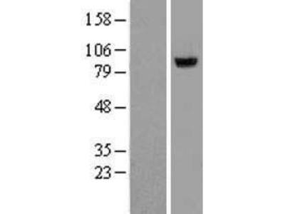 Transient overexpression lysate of xylosyltransferase II (XYLT2)