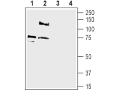 Anti-pan ASIC (extracellular) Antibody