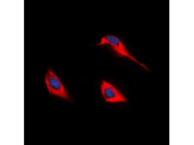 SLC52A1 / GPR172B / PAR2 Antibody