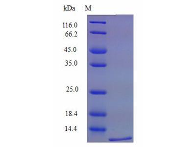 XCL1 / Lymphotactin Protein