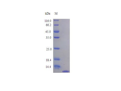 CCL11 / Eotaxin Protein
