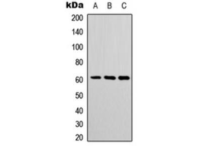 POTEH Antibody