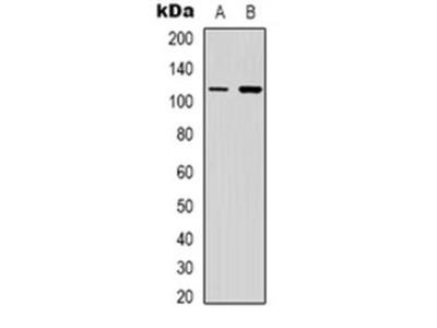 PIK3CG antibody