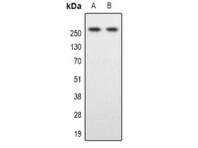 SPTBN1 antibody