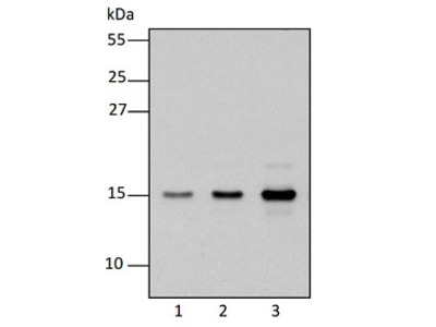 Anti- RpoTm ; DNA-directed mitochondrial RNA polymerase (RpoT1; mitochondrial NEP)