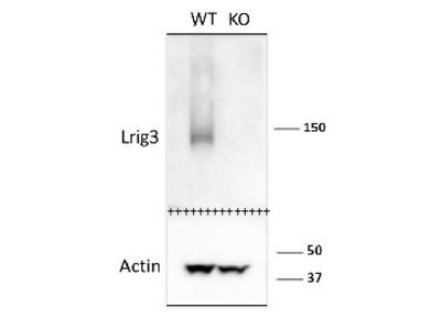 Anti- mLrig3-207 ; Leucine-rich repeats and immunoglobulin-like domains protein 3