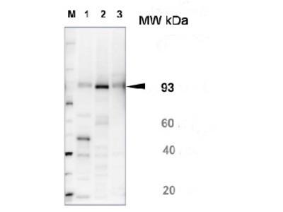 Anti- SUS1 ; Sucrose synthase 1