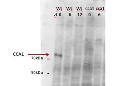 Anti- CCA1 ; Circadian clock associated 1