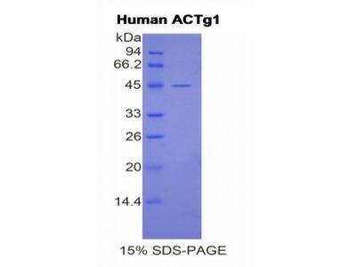 ACTG1 / Gamma Actin Protein