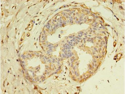 THRA / THR Alpha Antibody