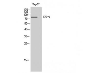RP49 / CNG1 Antibody