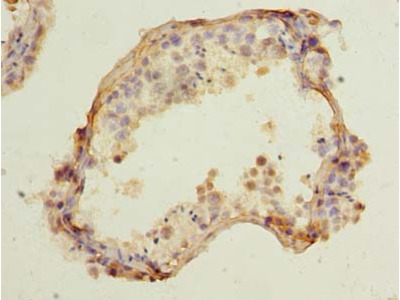 CCDC42 Antibody
