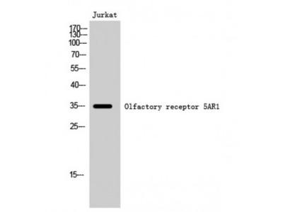 OR5AR1 Antibody