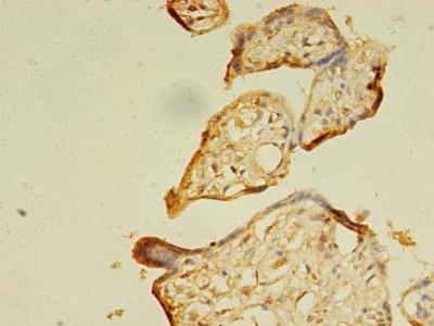 SEC31A / HSPC275 Antibody